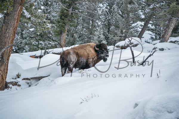 Yellowstone 2019 5712 Edit Art | dougbusby