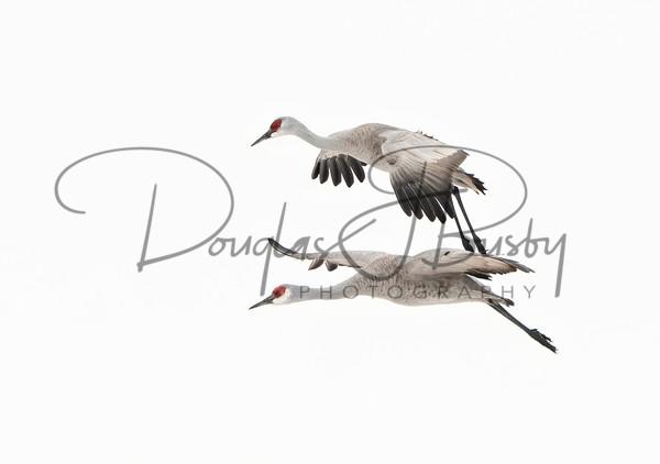 Sandhill Cranes 6872 Edit Output Art | dougbusby