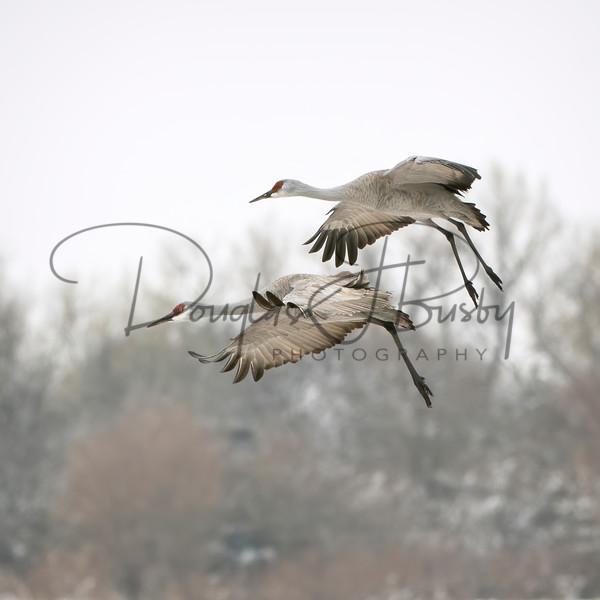 Sandhill Cranes 6897 Edit Output Art | dougbusby