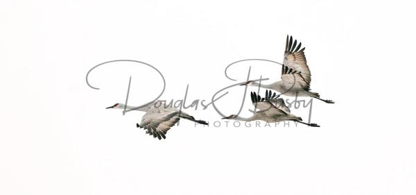 Sandhill Cranes 7139 Edit Edit Output Art | dougbusby