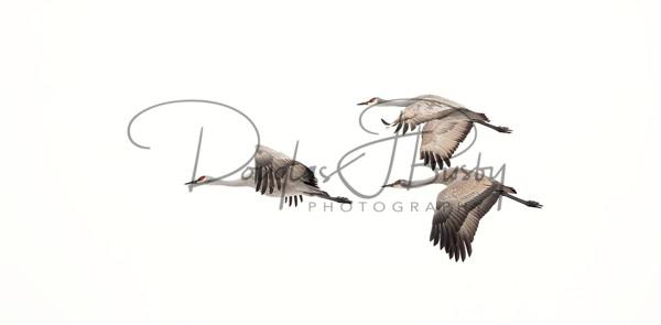 Sandhill Cranes 7146 Edit Output Art | dougbusby