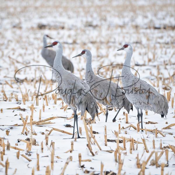 Sandhill Cranes 7665 Edit Output Art | dougbusby