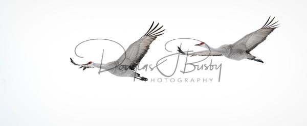 Sandhill Cranes 7797 Edit Output Art | dougbusby