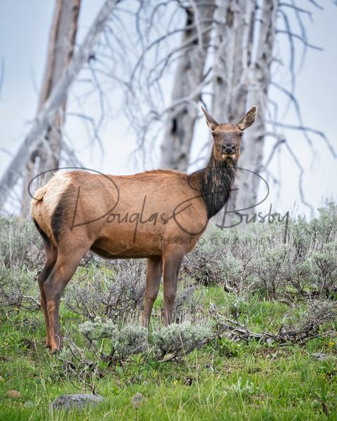 Yellowstone 2020 2029 Edit Art | dougbusby