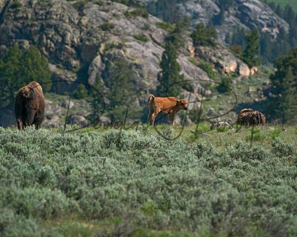 Yellowstone 2020 4029 Edit Art | dougbusby