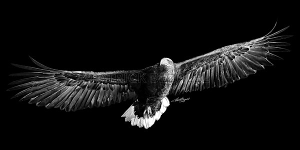 Own Limited Edition Hand-drawn Art On Eagles' Wings | Patrick Bezalel Fine Artist