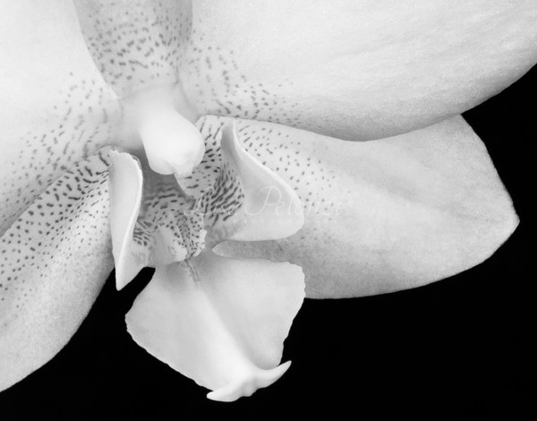 Orchid In Black And White  Photography Art | lisa pelonzi photographer