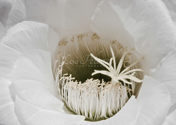 Arizona Blooms Photography Art | lisa pelonzi photographer
