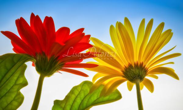Gerber Daisies Photography Art | lisa pelonzi photographer