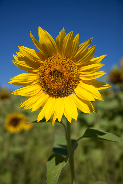 Sunflower Photography Art | lisa pelonzi photographer