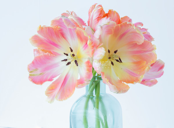 Parrot Tulips  Photography Art | lisa pelonzi photographer