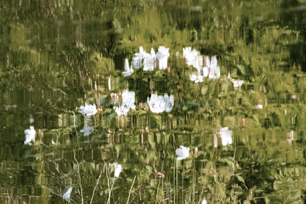 White Hibiscus IV. Series of Photographs. Reflection of Flowers
