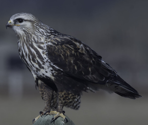 Ruffled Leg Hawk