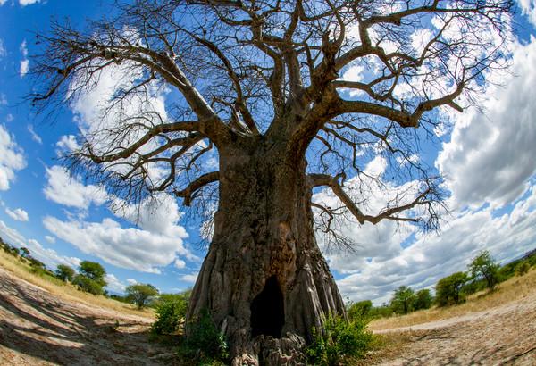 Tree of Life-Boabab Tree, Tanzania