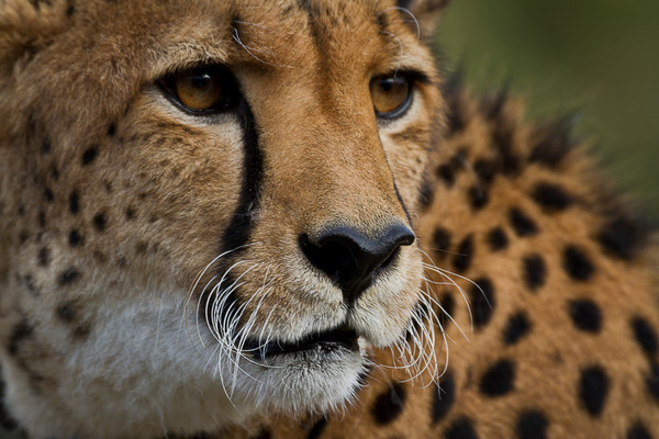 Wildlife Photography | Hunting Cheetah by Leighton Lum