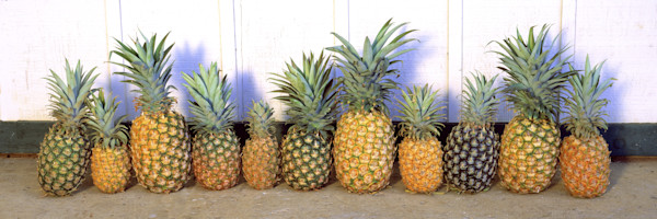 Lifestyle Photography  |  Precocious Pineapples by Randy J Braun