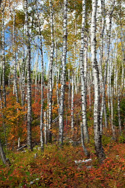 Split Rock Birch Trees