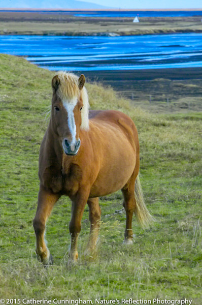 Iceland Wild Horses