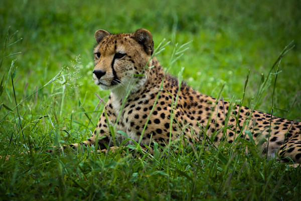 Africa, photography, cheetah, South Africa, African Wildlife