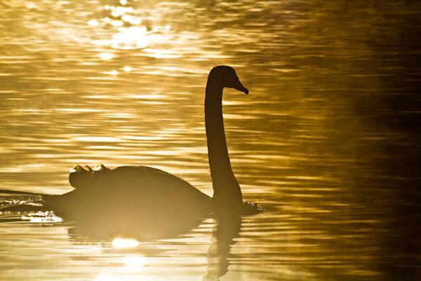 One Golden Swan