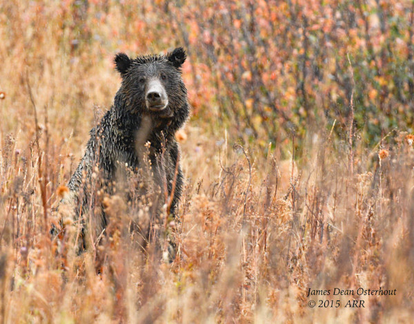 GRIZZLY BEARS, GRAND TETON NATIONAL PARK