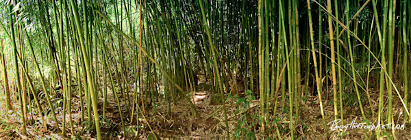 Bamboo Forest Pano