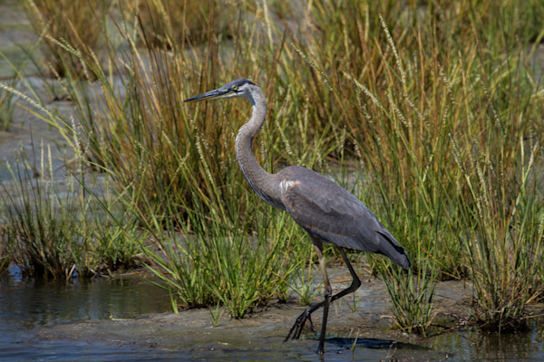 Fine Art Photograph of a Quiet Assateague Heron by Michael Pucciarelli