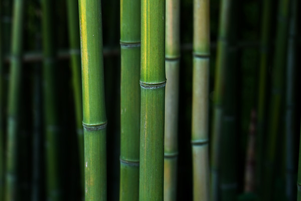A Fine Art Photograph of Kensington Forests of Bamboo by Michael Pucciarelli