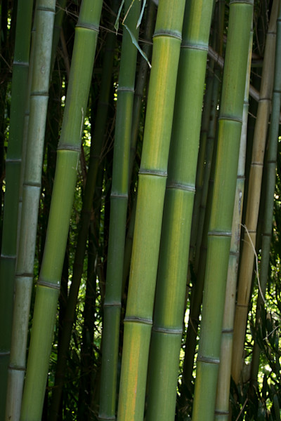 A Fine Art Photograph of Bamboo in Kensington by Michael Pucciarelli