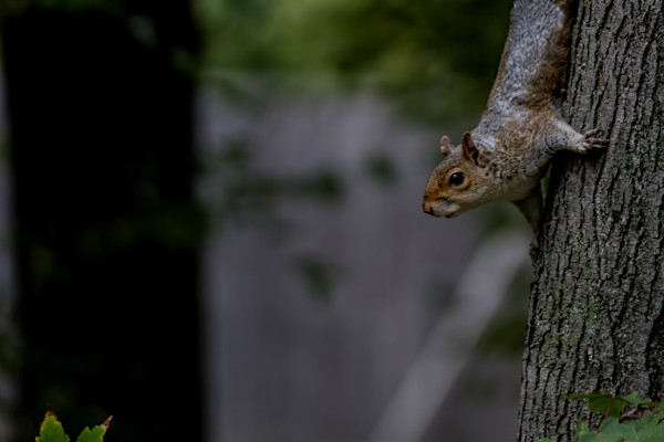 A Fine Art Photograph of a District Squirrel by Michael Pucciarelli