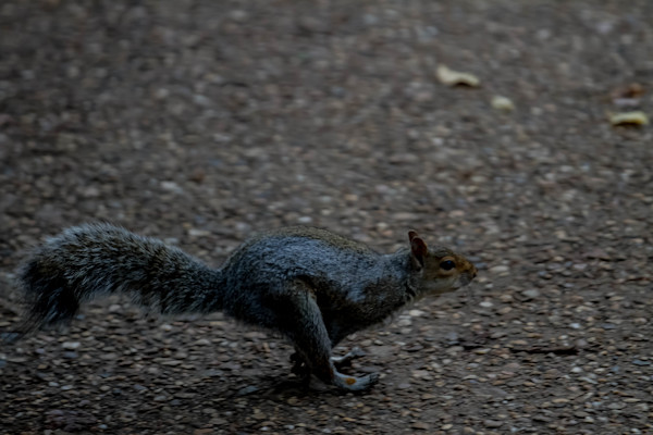 Fine Art Photograph of a Running Squirrel in Our Nation's Capitol by Michael Pucciarelli