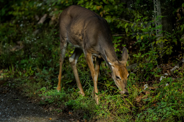 A Fine Art Photograph of a Hungry Deer in Shenandoah National Park by Michael Pucciarelli