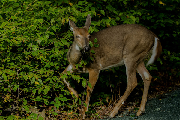Fine Art Photograph of Emotional Deer in Shenandoah by Michael Pucciarelli
