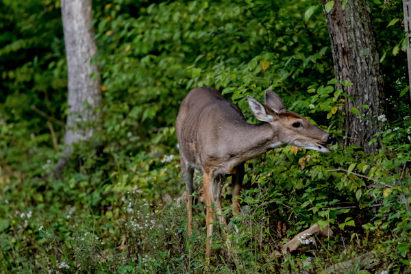 Fine Art Photographs of a Hungry Deer in Shenandoah by Michael Pucciarelli