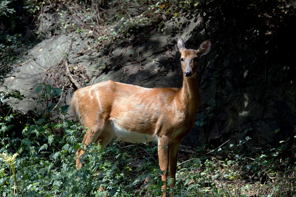 Wild Deer of Harper's Ferry