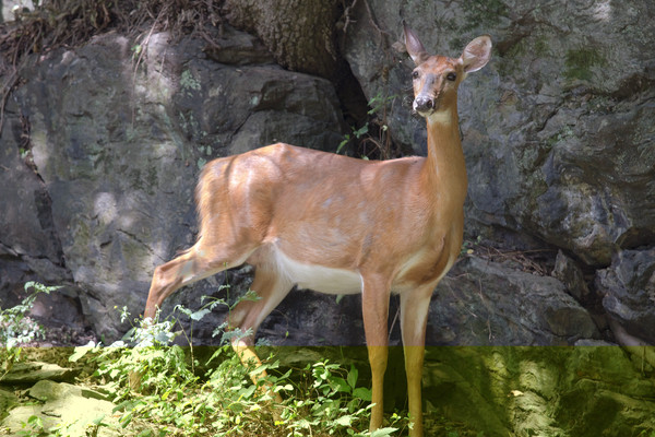 Fine Art Photographs of Deer in Harper's Ferry by Michael Pucciarelli