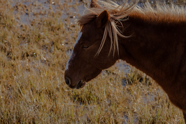 Fine Art Photographs of Assateague Pony Head by Michael Pucciarelli