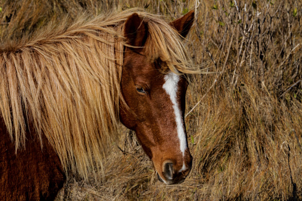 Fine Art Photograph of Assateague Pony Head by Michael Pucciarelli