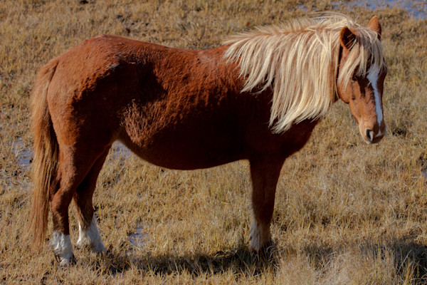 Fine Art Photograph of Pony in Assateague by Michael Pucciarelli