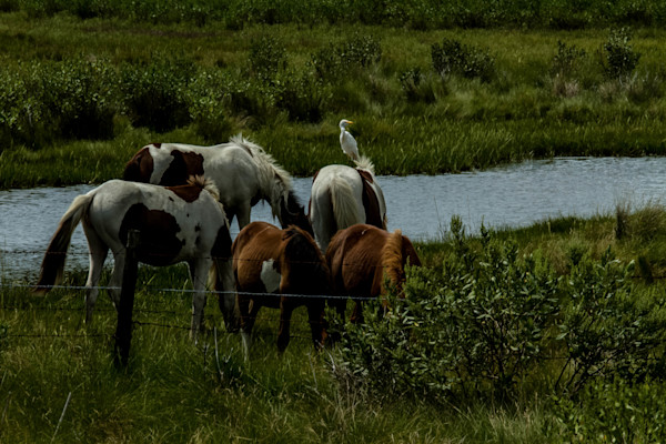 Fine Art Photograph of Hungry Assateague Ponies by Michael Pucciarelli