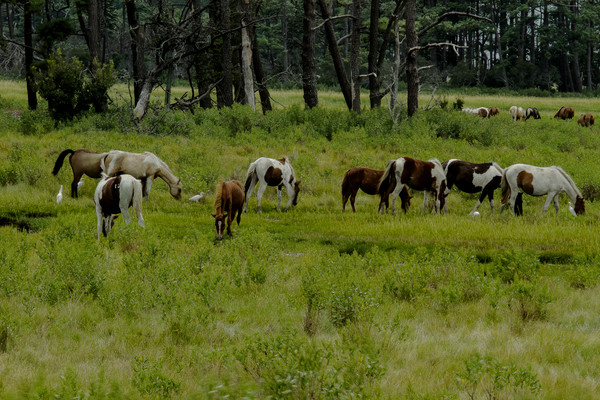 Fine Art Photograph of Assateague Ponies by Michael Pucciarelli