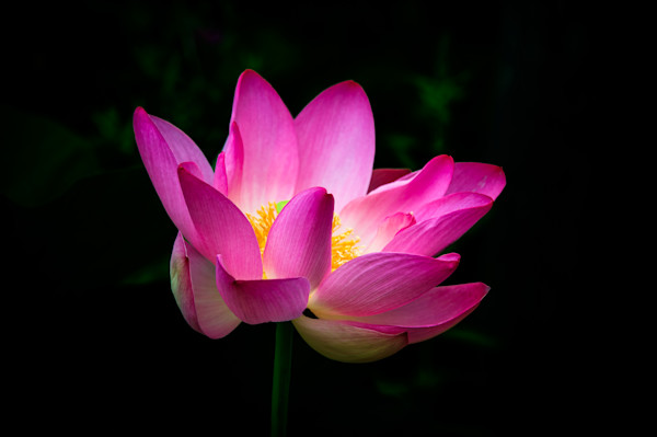 Pink Lotus Fine Art Photograph | JustBob Images