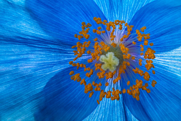 Blue Poppy Details Fine Art Photograph | JustBob Images