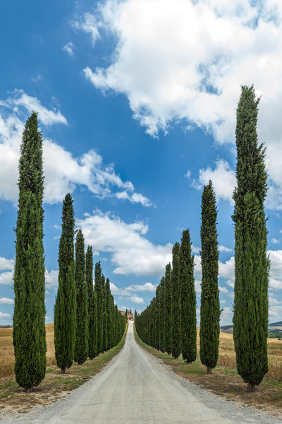 Cypress Entrance - Tuscany - Italy