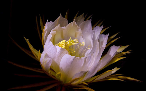 Night Blooming Cereus | Kauai Fine Art Photography, Hawaii