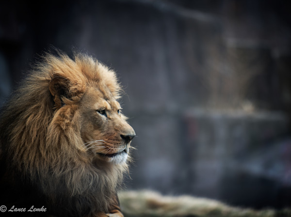 """Big Cats  Photograph's for Sale as Fine Art"""