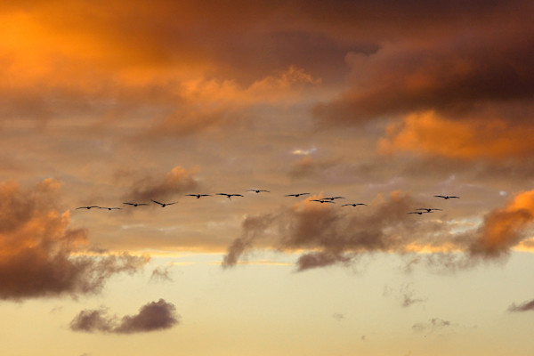 Pelicans in the Sky