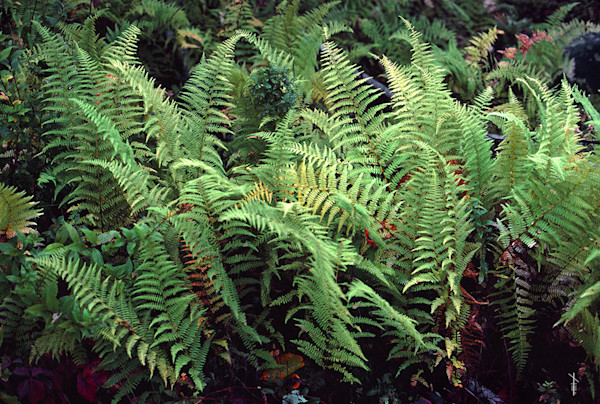 Christmas Ferns