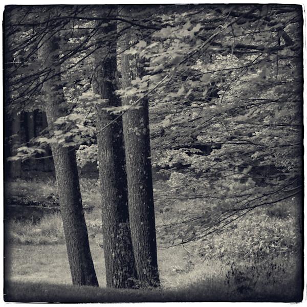 Three Trees, Woodstock, NY