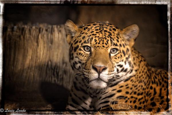 jaguar-stare